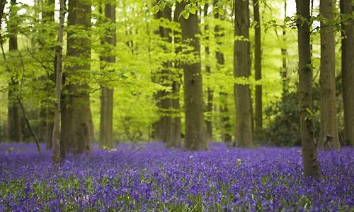 Image result for bluebell woods
